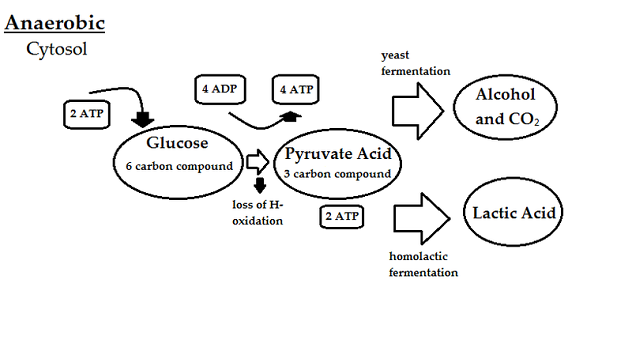 Which Is Required For Both Anaerobic Respiration And Aerobic Respiration Lifeder English