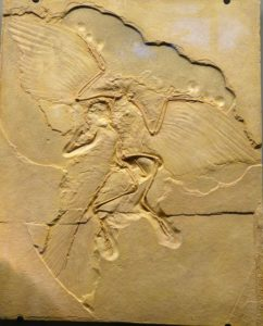 Picture of a fossil Archaeopteryx