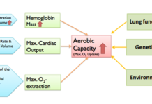 Diagram showing factors that influence aerobic capacity