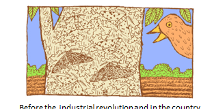 Diagram showing evolution by natural selection in the peppered moth