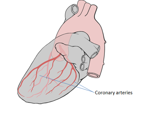 Diagram of the heart showing the coronary arteries that supply blood to the heart muscle
