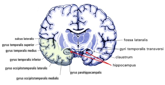 Which Parts Of The Brain When Impaired By Alcohol Play An
