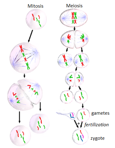 Diagram showing types of cell division that can occur in eukaryotic cells for reproduction