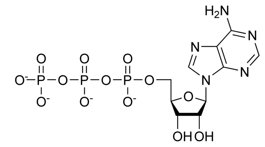 Diagram showing the structure of ATP