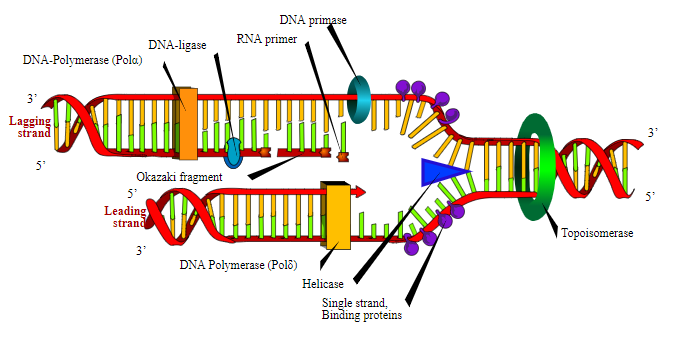 Diagram showing process of DNA replication