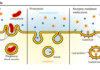 Diagram showing the different types of endocytosis