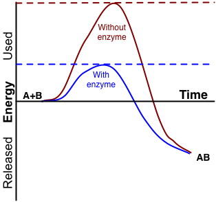 diagram showing effect of enzyme on activation energy needed  the substrates  are indicated as a