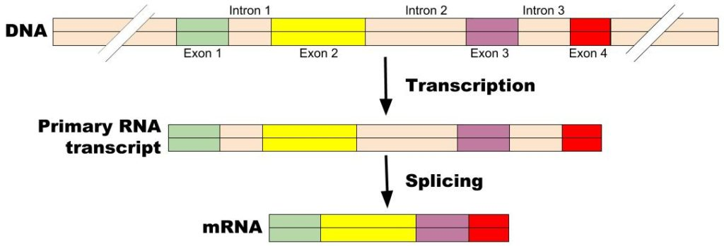 Diagram showing processing of mRNA