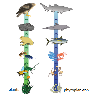 Diagram of two food chains showing producers: plants and phytoplankton at the base