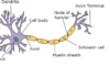 Diagram of a neuron showing the myelinated axon
