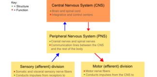 Diagram showing divisions of the nervous system