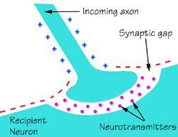 Diagram of a chemical synapse