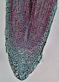 Photo of the apical meristem of an onion root tip