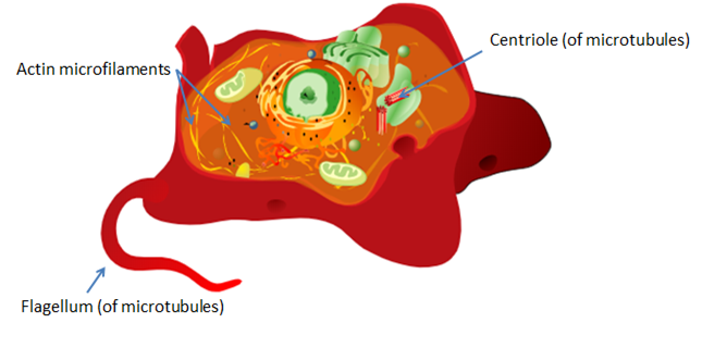 Diagram of an animal cell showing components of the cytoskeleton