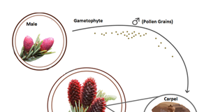 Diagram of pine male and female cones and gametophytes