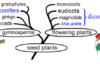 Diagram showing the close evolutionary relationship between the gymnosperms and the angiosperms