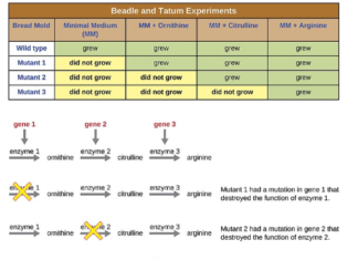 Diagram of the experiments of Beadle and Tatum