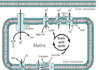 Diagram of the electron transport chain of cellular respiration