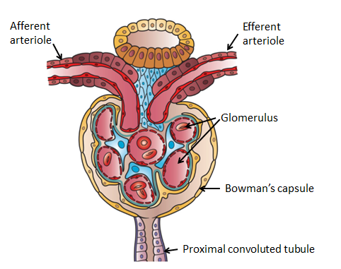 What are the two main parts of the nephron? - lifeder English