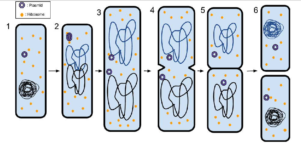 What Results When A Single Bacterium Reproduces